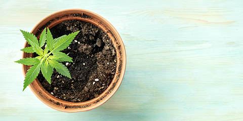 a-young-hemp-plant-in-a-pot