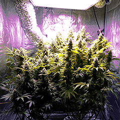 advantages-of-indoor-cannabis-cultivation
