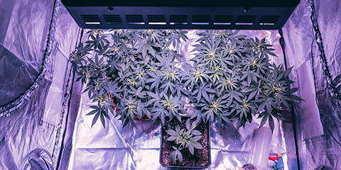 cannabis-in-a-grow-tent-under-led-growlights