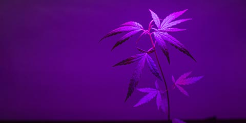 plant-sapling-cannabis-growing-in-pot-with-led