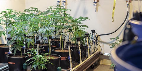 automated-marijuana-plant-watering-system