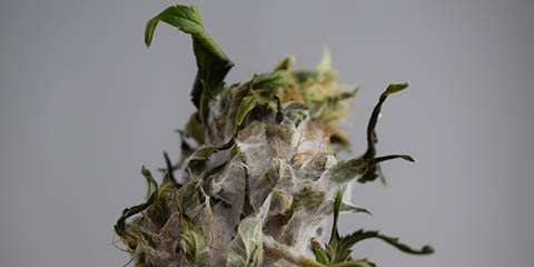 this-is-what-moldy-cannabis-looks-like