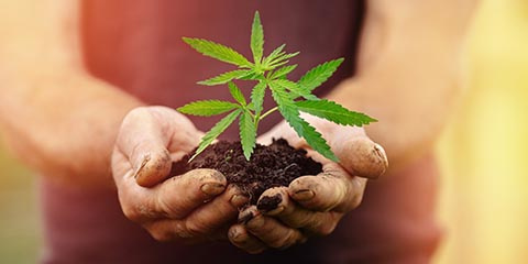 when-to-transplant-cannabis-to-compost