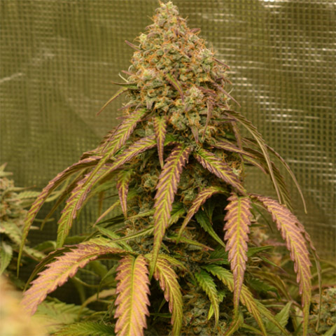 buy-bruce-banner-auto-fem-in-the-usa