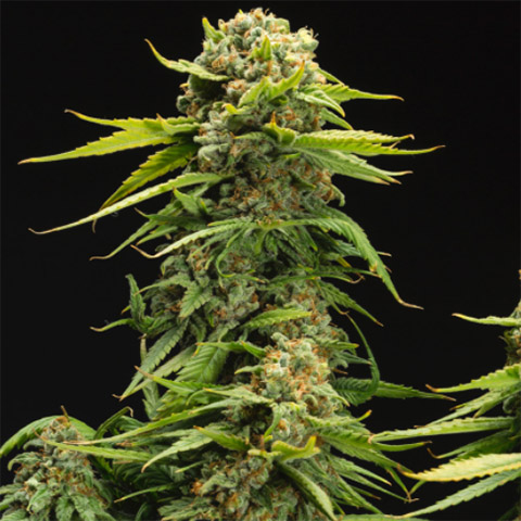 buy-bruce-banner-photo-fem-seeds-in-the-usa