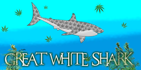 buy-great-white-shark-cannabis-seeds