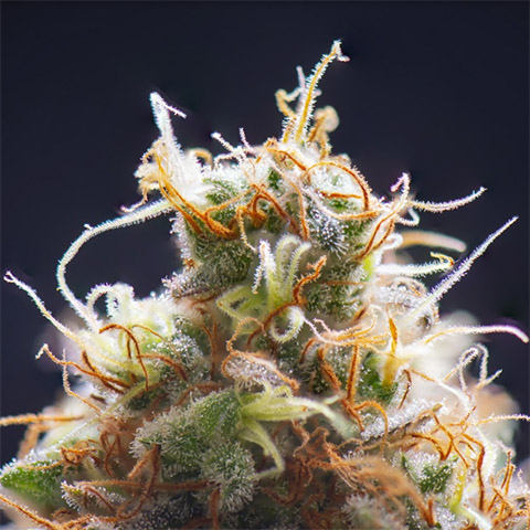 buy-sour-diesel-strain-seeds-online-in-the-usa
