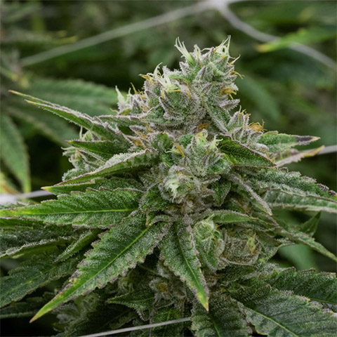 buy-stardawg-strain-seeds-online-in-the-usa-1