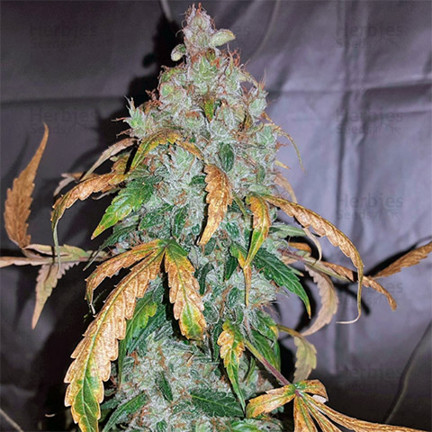 buy-white-widow-strain-seeds-online-in-the-usa