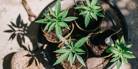 closeup-of-a-young-cannabis-plants-planted-in-fresh-soil-pots