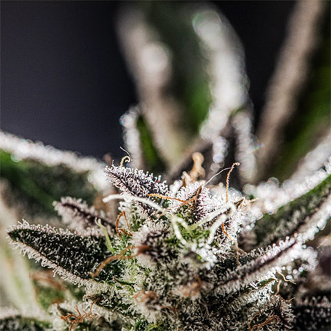 girl-scout-cookies-photo-fem-flowering-time