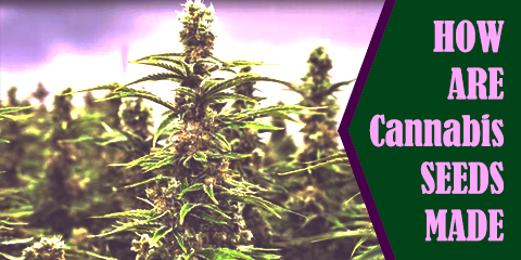 how-are-cannabis-seeds-made