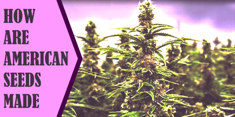 how-are-american-weed-seeds-made