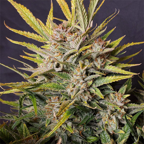 how-to-grow-girl-scout-cookies-photoperiod-female
