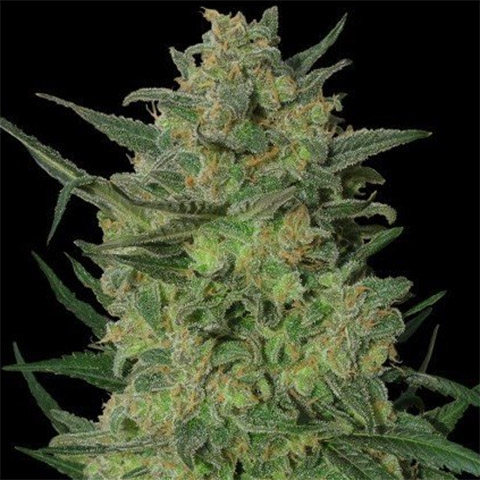 lsd-photoperiod-female-homegrown-weed