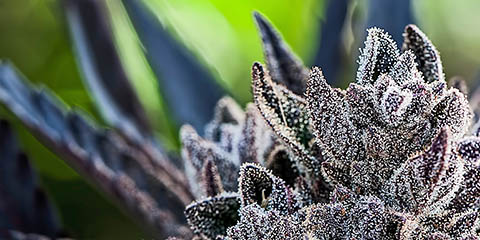 place-your-order-for-high-thc-strains-today