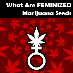 what-are-feminized-seeds
