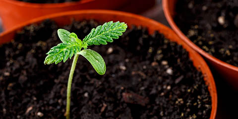 when-to-transplant-cannabis-plant