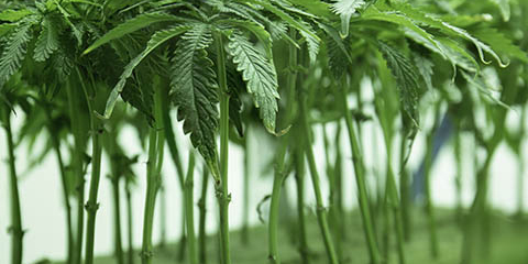 young-cannabis-plant-cone-seedlings-in-vegetation