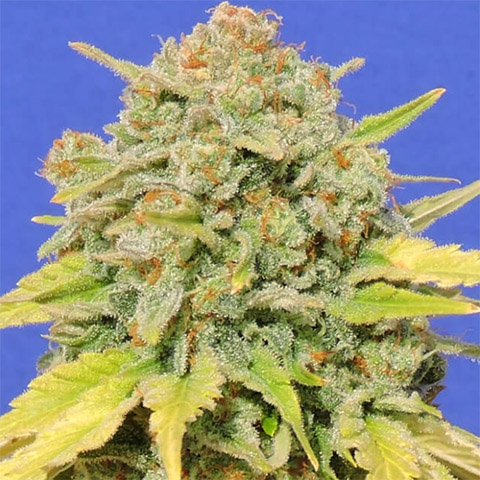 zkittlez-photoperiod-female-homegrown-weed