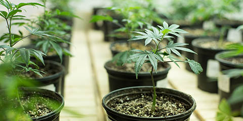 buy-quality-weed-seeds-for-soil-growing