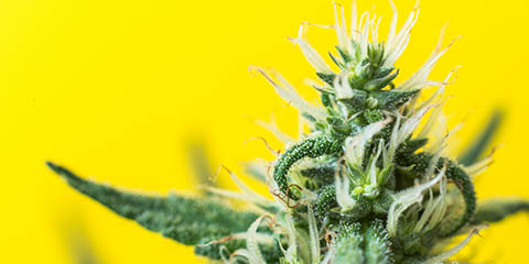 cannabis-plant-flowering-in-optimal-conditions