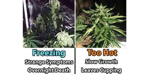 effects-of-too-hot-and-too-cold-on-cannabis
