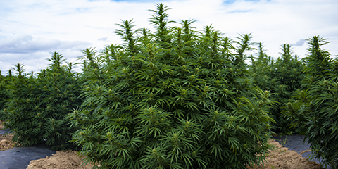 huge-cannabis-plant-thriving-in-outdoor-climate