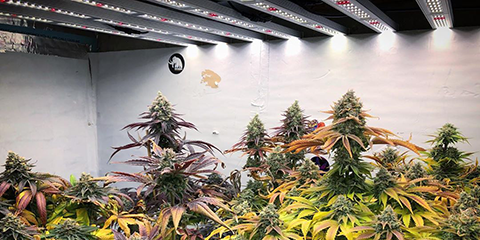 large-super-cropped-plants-in-cannabis-grow-room