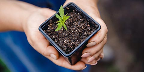 natural-cultivation-of-cannabis-crop