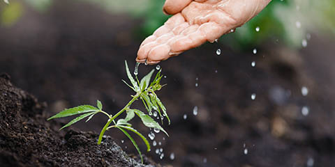 outdoor-cannabis-grower-conserving-water