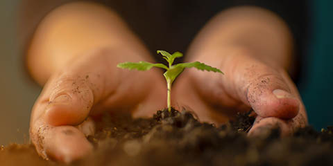 rich-soil-and-gentle-hands-for-cannabis-seedling