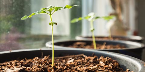 seedlings-can-stretch-with-improper-lighting