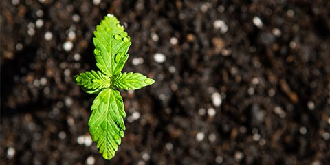 small-cannabis-seedling-emerging-from-soil-outside