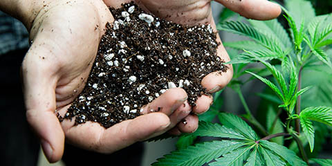 using-the-best-rich-soil-for-cannabis-growing