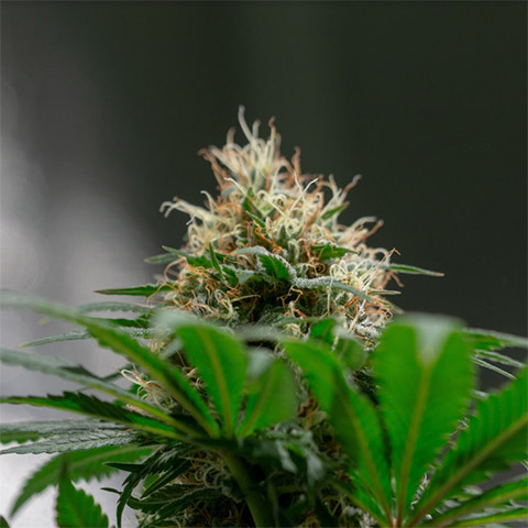 buy-fast-flowering-white-widow-seeds-online-in-the-usa