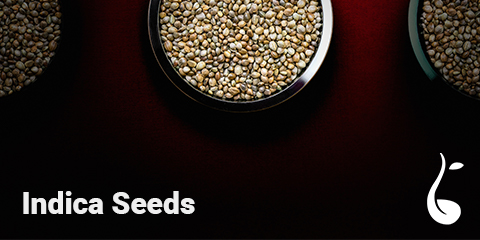 buy-indica-seeds-online-from-weed-seeds-usa