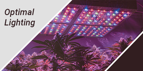 optimal-lighting-conditions-for-autoflower-cannabis-seeds