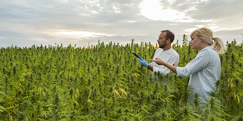 scheduling-your-outdoor-grow-for-indica-plants
