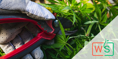 helpful-pruning-tips-to-maintain-sativa-plants