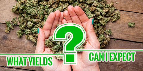 what-yields-can-i-expect-from-my-autoflowering-seeds