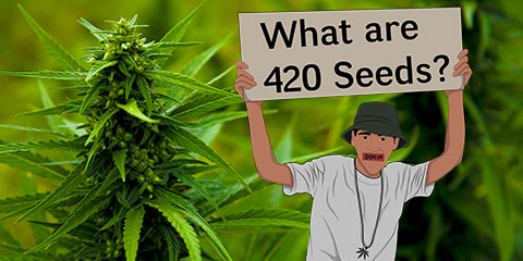 what-are-420-seeds